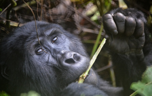 Conheça os magníficos gorilas-da-montanha